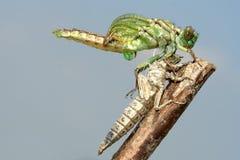 Émergence des flavipes de Gomphus, libellule de Clubtail de rivière Photo stock