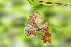 Émergence du sondaica commun Boisdu de Discophota de papillon de gourde Photos stock