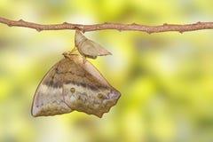 Émergence du sondaica commun Boisdu de Discophota de papillon de gourde Images libres de droits