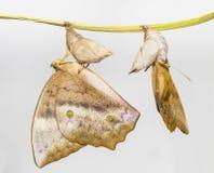 Émergence du sondaica commun Boisdu de Discophota de papillon de gourde Photos libres de droits