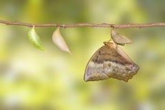Émergence et chrysalide de papillon commun Discophota s de gourde Photographie stock libre de droits