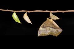 Émergence et chrysalide de papillon commun Discophota s de gourde Images stock