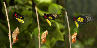 Émergence et métamorphose de butterf birdwing d'or tropical Photo libre de droits