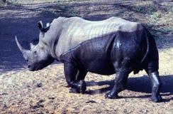 Émergence rhinocéros blanc à moitié humide à la réservation de jeu de Mkhuze Photographie stock