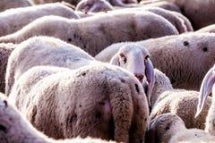 Émergent les petits moutons Images stock