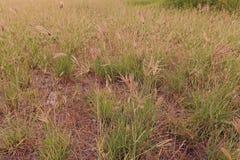 Émerveillez-vous l'herbe ou l'herbe de hindi, utilisée généralement comme fourrage pour le bétail photo stock