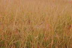 Émerveillez-vous l'herbe ou l'herbe de hindi, utilisée généralement comme fourrage pour le bétail photos libres de droits