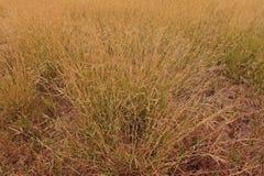 Émerveillez-vous l'herbe ou l'herbe de hindi, utilisée généralement comme fourrage pour le bétail photographie stock
