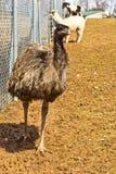 Émeu au parc animalier Photographie stock libre de droits