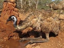 Émeu, Australie Images stock