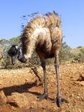 Émeu, Australie Images libres de droits