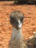 Émeu, Australie Photo libre de droits
