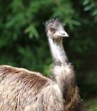 Émeu australien avec l'iris orange dans la forêt Photographie stock libre de droits