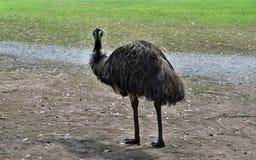 Émeu australien drôle sauvage Photos libres de droits