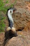 Émeu australien - Dromaius Image libre de droits