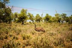 Émeu australien marchant en Mungo National Park, Australie Photographie stock libre de droits