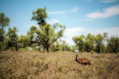 Émeu australien marchant en Mungo National Park, Australie Images stock