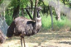 Émeu d'autruche au zoo Image libre de droits