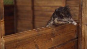 Émeu d'autruche dans le parc animalier banque de vidéos