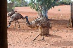 Émeu dans le désert australien Images libres de droits