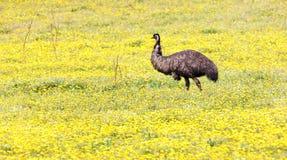 Émeu dans le pré avec les fleurs jaunes Photo stock