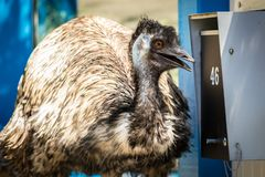Émeu drôle avec la boîte aux lettres dans le voisinage d'Australie Photographie stock