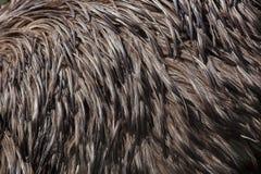 Émeu et x28 ; Novaehollandiae& x29 de Dromaius ; Texture de plumage Photos libres de droits