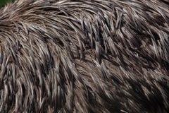 Émeu et x28 ; Novaehollandiae& x29 de Dromaius ; Texture de plumage Images stock