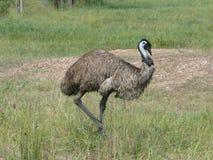 ÉMEU graduellement dans la steppe australienne photographie stock