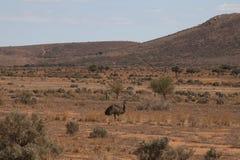 Émeu marchant sur la terre plate avec des collines dans la distance Photographie stock libre de droits