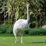 Émeu, novaehollandiae de Dromaius se tenant dans l'herbe dans son habitat photo libre de droits