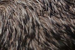 Émeu (novaehollandiae de Dromaius) Texture de plumage Image stock