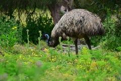 Émeu sauvage à la réservation de faune de colline de tour dans Victoria Photographie stock