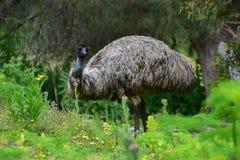 Émeu sauvage à la réservation de faune de colline de tour dans Victoria Image libre de droits