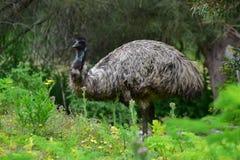 Émeu sauvage à la réservation de faune de colline de tour dans Victoria Photographie stock libre de droits