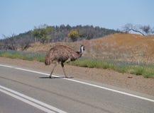 Émeu sur la route dans un paysage rural Images stock