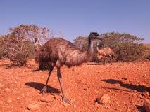 Émeus, Australie Photographie stock libre de droits