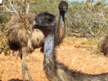 Émeus, Australie Photos libres de droits