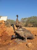 Émeus, Australie Images stock