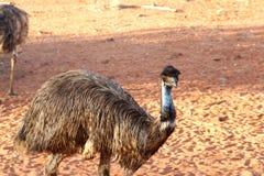 Émeus sauvages dans l'Australien à l'intérieur Image stock