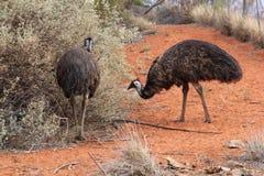 Émeus sauvages dans le désert rouge de l'Australie Photos stock