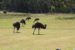 Émeus sauvages passant en revue près du terrain de camping en parc national de Grampians, Victoria Australia photographie stock libre de droits