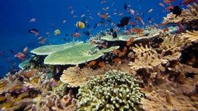 Émeute de la vie sous-marine Diversité de forme, couleurs fabuleuses des coraux mous et école colorée des poissons La Papouasie N image stock