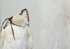 ÉMIRATS ARABES DE DUBAI-UNITED LE 21 JUIN 2017 La photo chique a tiré de l'OISEAU de FAUCON, yeux couverts de masque fond blanc n Image libre de droits