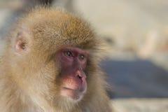 Émotions/expressions de singe de neige : Souci photos libres de droits