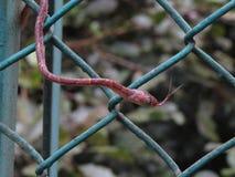 Émoussez le serpent dirigé d'arbre Images libres de droits