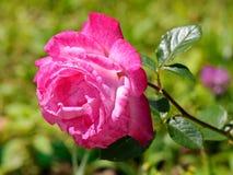 Énorme, fleur rose d'ivrogne Un cadeau à votre fille aimée pendant des vacances ou juste sans raison, comme symbole de l'amour Image libre de droits