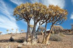 Énormes arbres de tremblement dans l'horizontal sud-africain Photo stock