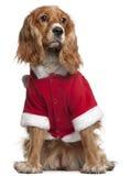 Épagneul anglais de cocker dans l'équipement de Santa Photo libre de droits