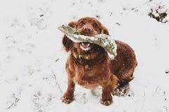 Épagneul dans la neige images stock